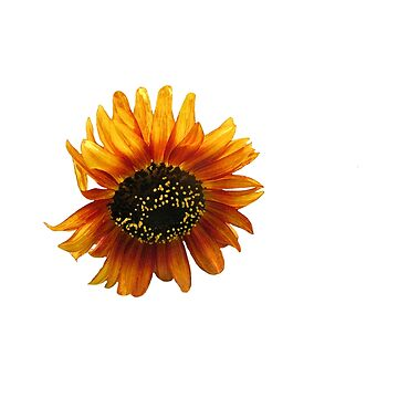 Giant Orange Sunflower in Bloom by empressofdirt