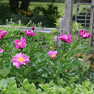 Pink Peonies By the Garden Fence by empressofdirt
