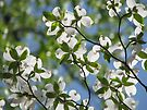 ~Dogwood Blossoms In The Sky~ by NatureGreeting Cards ©ccwri