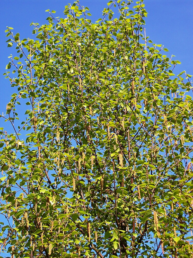 Birch Tree for Al by Braedene