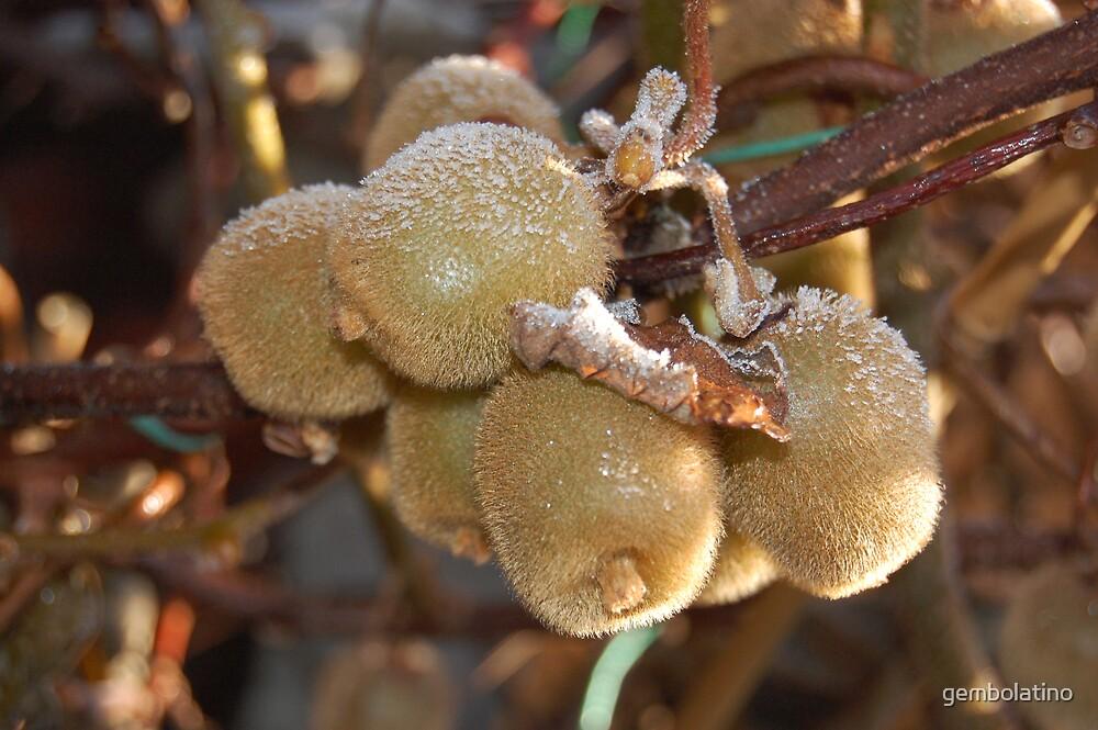 dying kiwi fruit by gembolatino