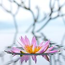 Lily Reflection by Jeff Harris