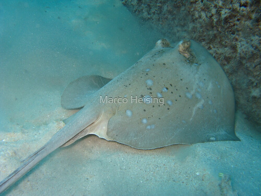 Blue Spottet Stink Ray by Marco Heising