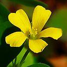 Clover Flower by Virginia N. Fred