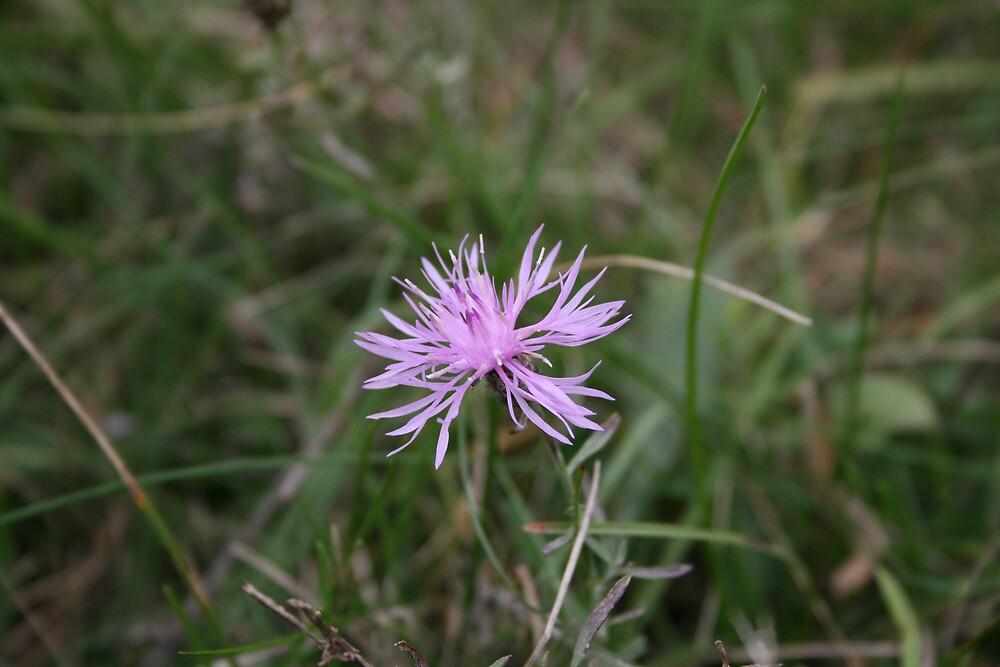 Field flower purple by Lisabeth Mackall