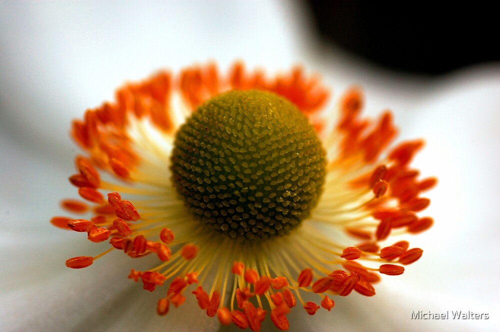 Japanese Wind Flower by Michael Walters