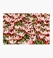Tulips Field - Holland Flower Festival Photographic Print