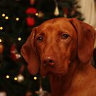 Sharing Christmas with a Vizsla by Tracey Pacitti
