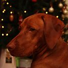 Hungarian Vizsla at Christmas by Tracey Pacitti