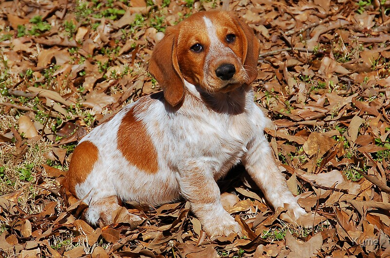 Quot Beagle Basset Hound Mix Breed Dog Quot By Kyme Redbubble