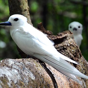 Seychelles white bird by dcrrld