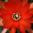 Orange flower of a Cactus plant by Bev Pascoe