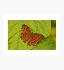 Chocolate Pansy Butterfly Art Print