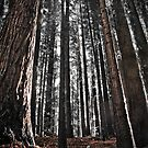 red woods 8 by angelo marasco