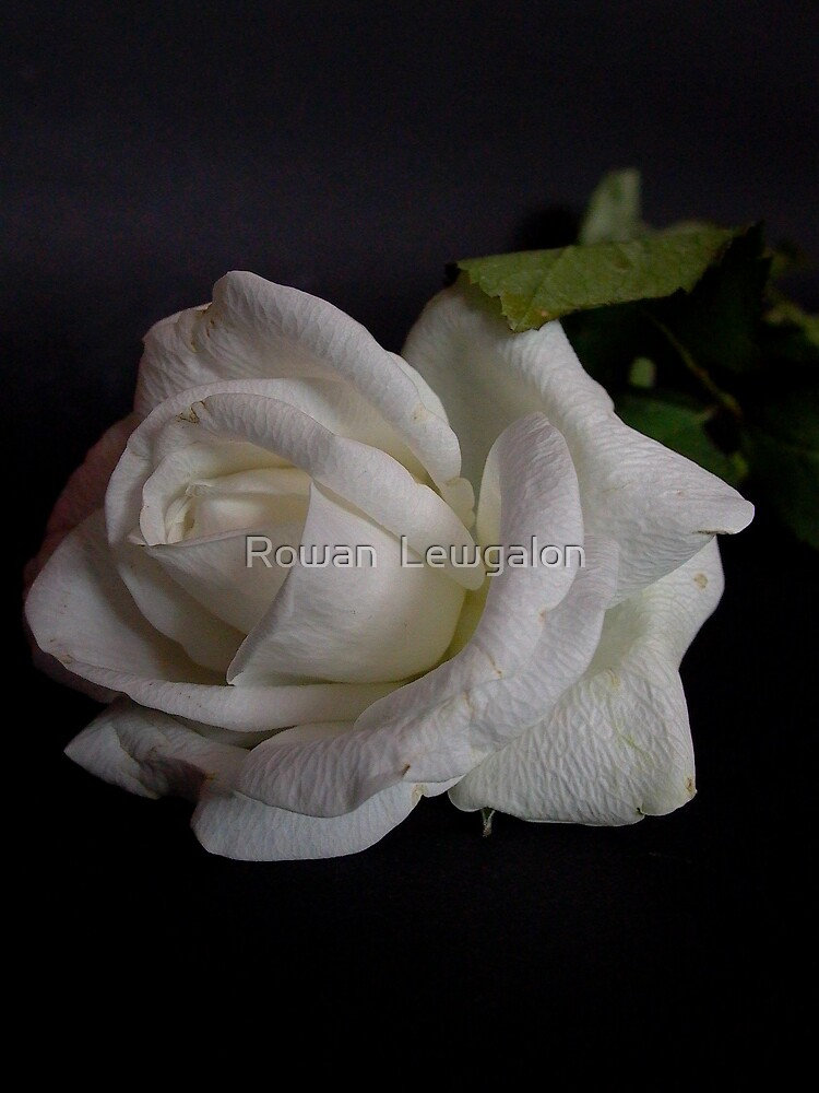 White Rose by Rowan  Lewgalon