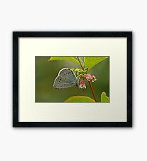 Holly Blue Butterfly Framed Print