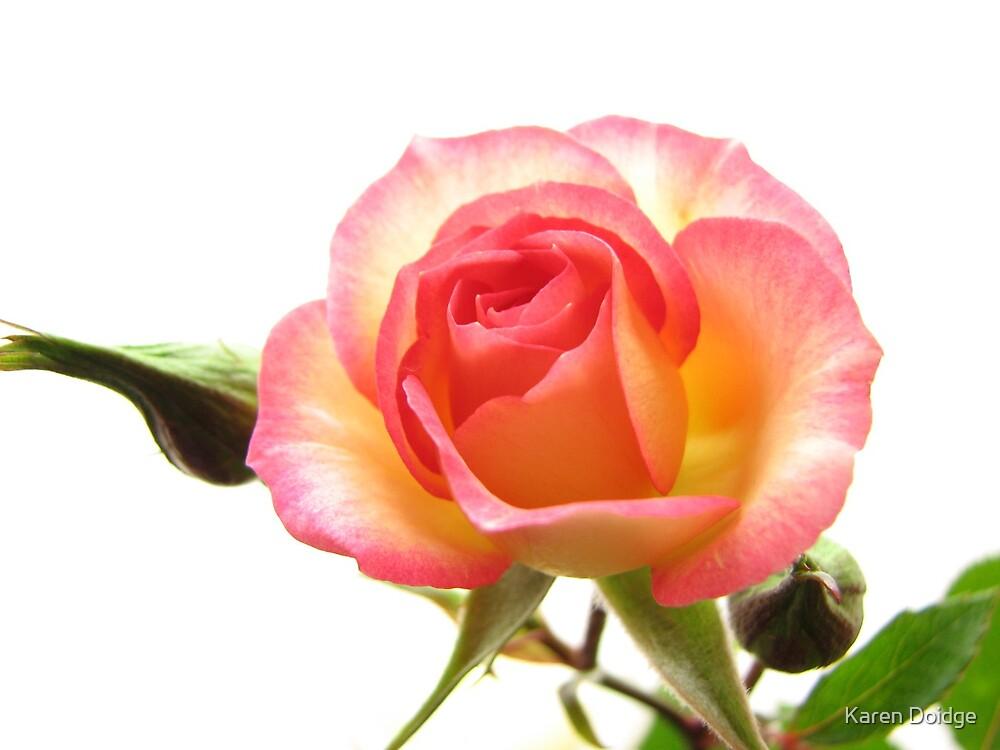 Miniature rose on white background by Karen Doidge