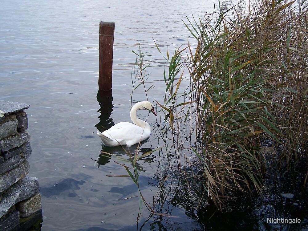 Swan by Nightingale