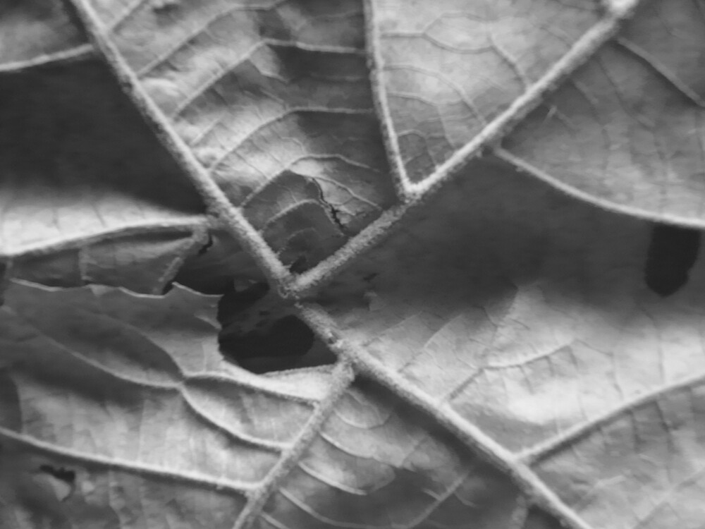 leaf with textures in black and white by Carolyn Crosby