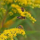Flirting Hoverflies by Robert Abraham