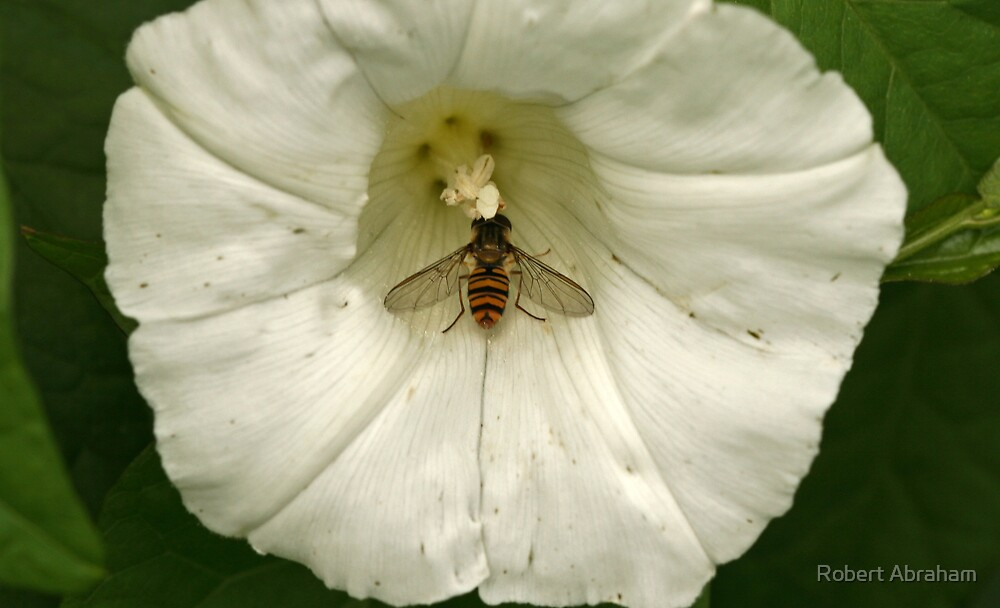 Marmalade Fly by Robert Abraham