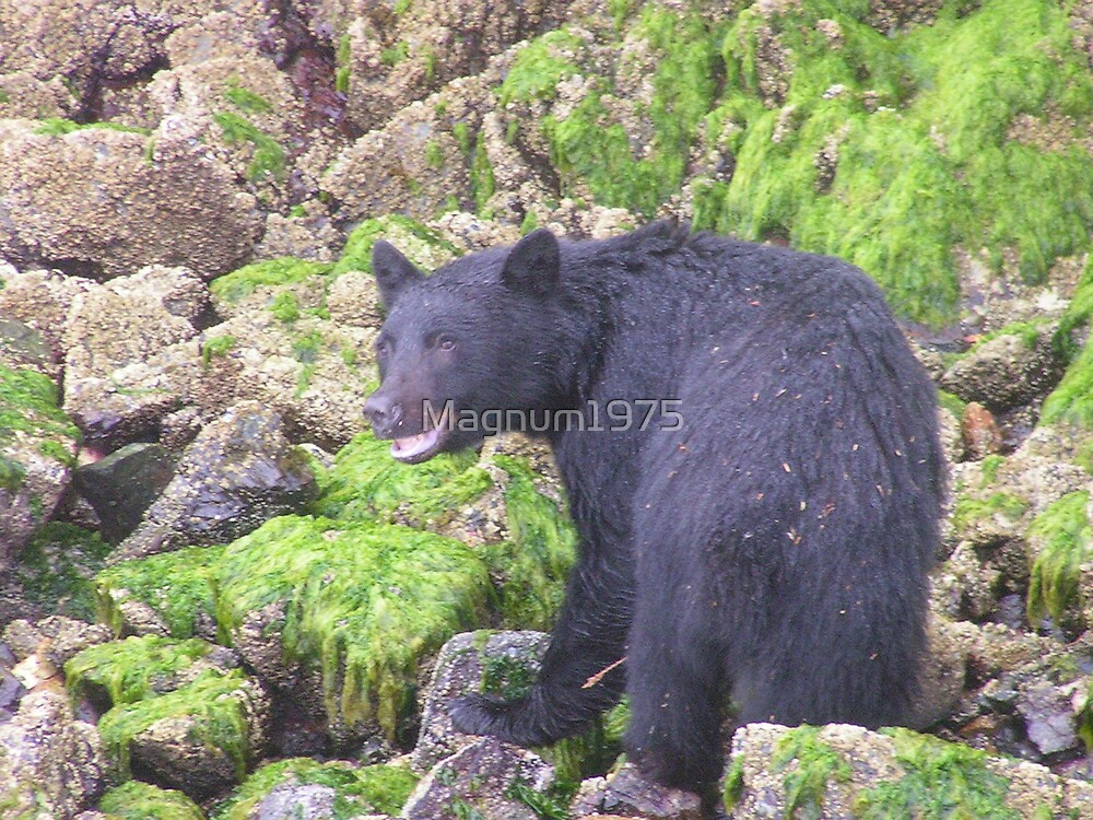 Bear feeding on Coastal Island by Magnum1975