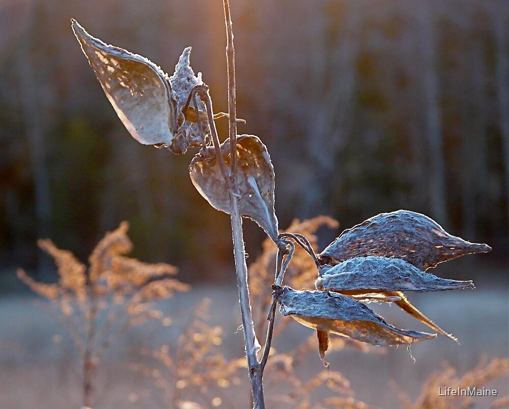 Winter Milkweed by LifeInMaine