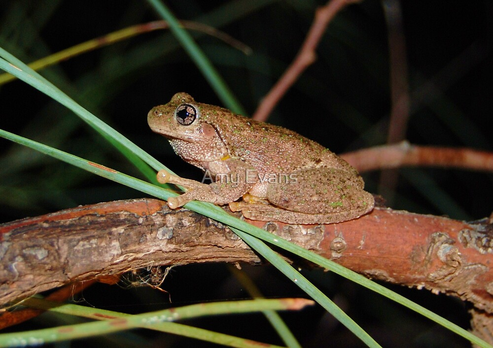 Peron's Tree Frog by Amy Evans