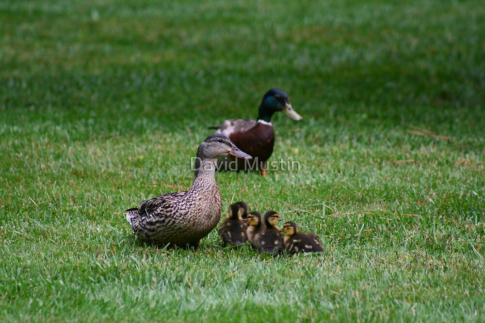 Mother & Father Duck w/ babies by David Mustin