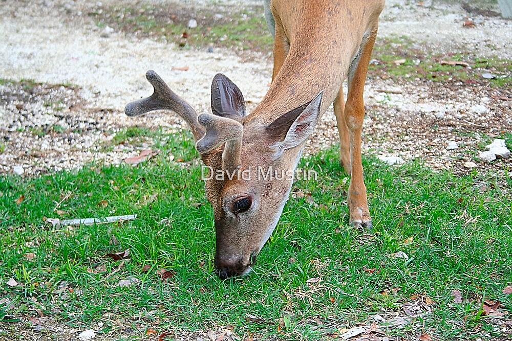 Key Deer by David Mustin