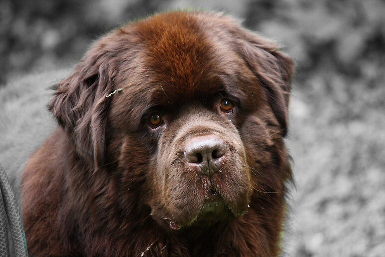 Newfoundland dog by meganboundy