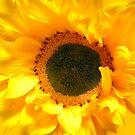 Glorious Yellow Sunflower by hurmerinta
