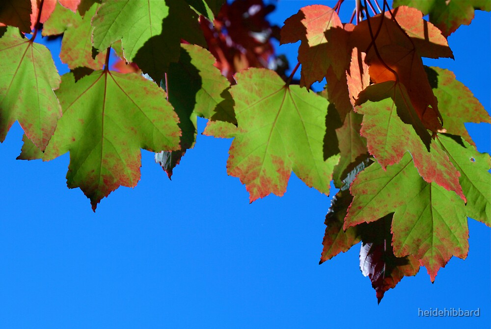 maple leafs on a sunny day by heidehibbard