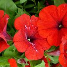 Really Red Petunias by WildestArt