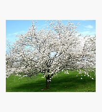 Pear Tree Blooming in Spring Photographic Print