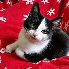 Kitten on a Winter Blanket by Veronica Schultz