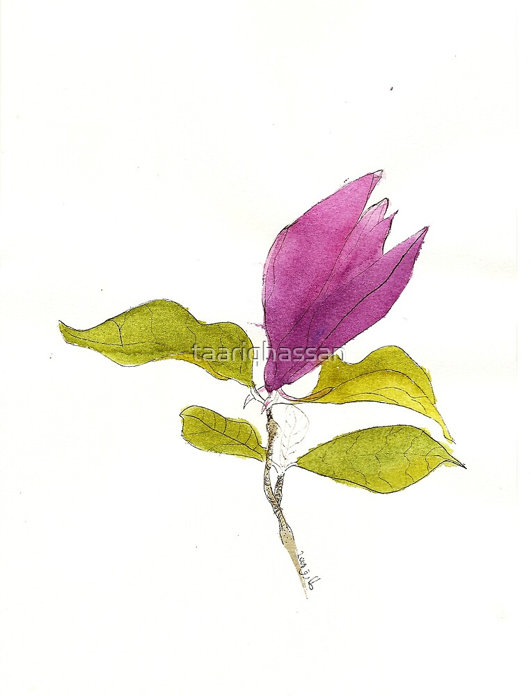 september 2008  spring magnolia by taariqhassan