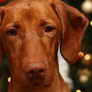 Christmas Vizsla by Tracey Pacitti