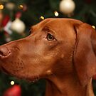 Christmas Time with our Hungarian Vizsla by Tracey Pacitti