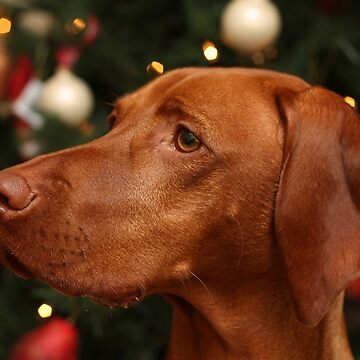 Christmas Time with our Hungarian Vizsla by TraceyPacitti