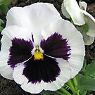 Pansy Bold and Beautiful by BlueMoonRose