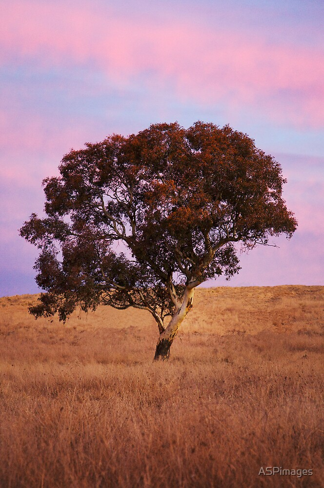 Gum Tree by ASPimages