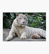 Lámina fotográfica White Tiger 4