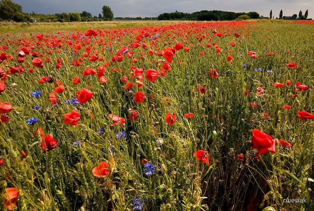 Poppy by rwesiak