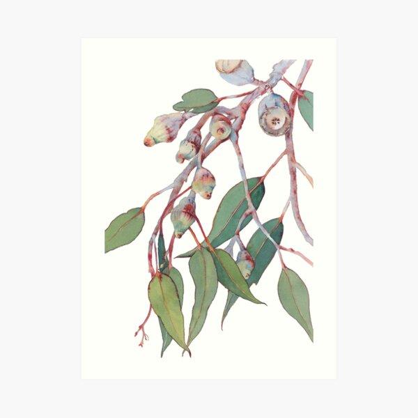 sie silber erscheinen lassen. Sie kontrastieren wunderbar mit der tiefen und üppigen Farbe der Gummiblätter.  Teil der australischen Naturaquarellsammlung https://rdbl.co/2KrRGJK Kunstdruck