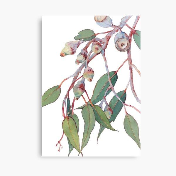 Australian native eucalyptus tree branch Canvas Print