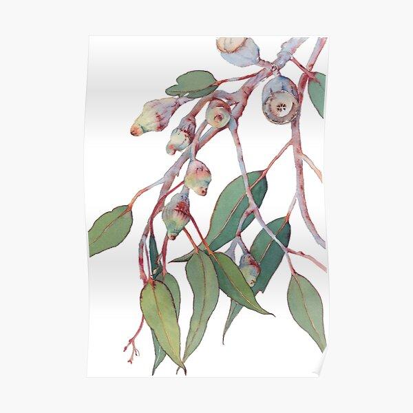 Australian native eucalyptus tree branch Poster