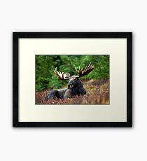 Regal Moose In The Grass Framed Print