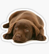 Cute chocolate lab puppy Sticker