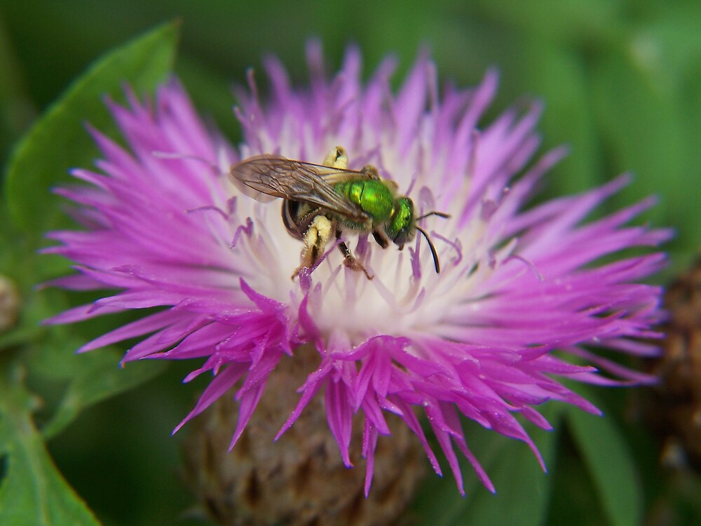A bee upon the bee balm by madmac57